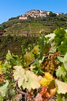 Vineyard and Groppo in background, Cinque Terre National Park, Province of La Spezia, Liguria, Italy