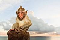 Indonesia, Bali Island, Bukit peninsula, Monkey sitting on stone