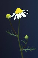 Chamomile blossoms in front of blue background