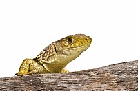 Ocellated lizard on a white background.