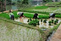 Chinese women planting rice on the banks of the Li river near Yangshuo, Guangxi region, China