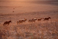 Horses running on Fengning grassland in Hebei,China