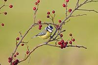 Goldfinch Carduelis carduelis on hawthorn berries