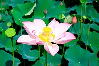 a close_up view of a blooming pink lotus in leaves