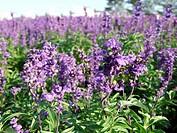 a purple flower field
