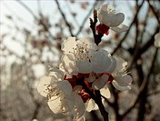 a close view of apricot flower