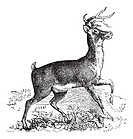Whitetail, Carausius virginianus or Virginia deer vintage engraving  Old engraved illustration of whitetail