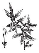 Bay leaves Laurus nobilis or sweet bay or bay tree or true laurel or grecian laurel or laurel tree, vintage engraved illustration  Trousset encycloped...
