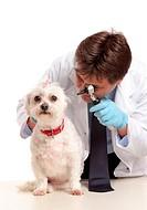 Vet inspecting dogs ears
