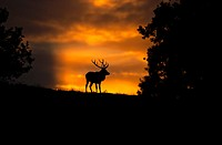 Sunset with Red Deer, Cervus elaphus, Bradgate Park, Charnwood forest, Newtown Limford, Leicestershire, England, Europe