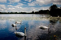 Swans in foreground at Ellesmere Lake