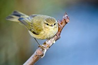 Chiffchaff - Phylloscopus collybita, Greece