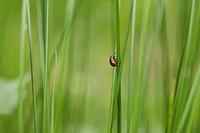 Poplar leaf beetle Chrysomela populi crawling on blade of grass