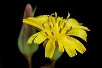 Tropical miniature yellow flower