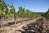 grape harvest, vineyards, chianti, area of brolio, province of siena, tuscany, italy, europe