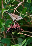 Lesser Whitethroat Sylvia curruca immature, first year plumage, feeding on Elder Sambucus nigra berries, Norfolk, England, august