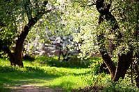 Blooming Apple Trees in the park. Pathway. Spring. Russia
