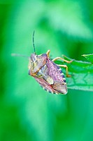Sloe Bug, Dolycoris baccarum  A large purplish brown and greenish shieldbug  Has long hairs covering the shield  The antennae and connexivum are bande...