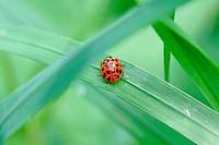 Asian ladybird, Harmonia axyridis  Fourteen spot pattern on back of the red ladybird  Hidden in grass