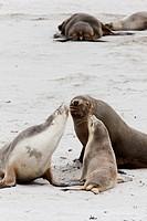 Australian Sea Lion Neophoca cinerea in the Seal Bay Conservatino Park, kangaroo Island, South Australia  Australian Sea Lion are a rare and protected...