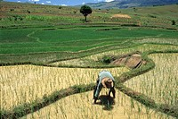transplanting, paddy field in Central Highlands, Republic of Madagascar, Indian Ocean