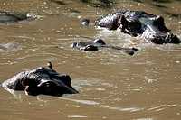 Hippos in Africa