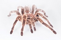 Rose-haired tarantula, Grammostola rosea, native to Chile, Bolivia and Argentina, cutout with white background