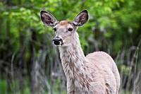 White_Tailed Deer, Assiniboine Park, Winnipeg, Manitoba, Canada.