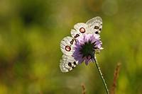 Germany, Bavaria, Franconia, Franconian Switzerland, View of apollo on flower, close up