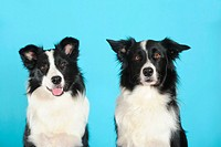 Two Border Collies, portrait, in front of turquoise