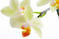 A white orchids on the white background