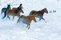 United States , Wyoming , Shell, The Hideout Guest Ranch , Horses.