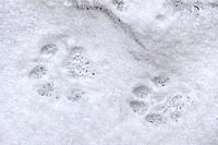 Eurasian lynx Lynx lynx footprints in the snow in winter, Bavarian Forest National Park, Germany