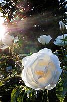 ROSES AND SUNLIGHT