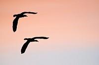 Cormorants - Phalacrocorax cormoranus, Greece