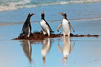 Group of Gentoo penguins Pygoscelis papua fighting on the beach, Saunders Island, Falkland Islands