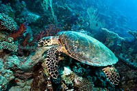 Hawksbill turtle Eretmochelys imbricata  Egypt, Red Sea
