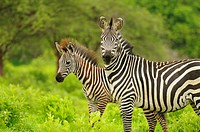 Common Zebra Equus quagga adult female with foal, standing in vegetation, Ruaha N P , Tanzania