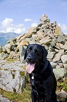 a black labrador retriever sits and pants beside a mountain cairn, lake district, north west, england