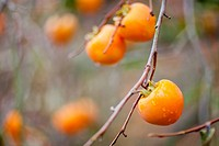South Korea, South Kyeongsang Province, Hadong County, Witaeri, persimmon on a branch