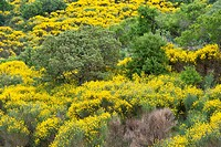 Greece, Chios Island, in spring the North of the island is covered with fragrant broom