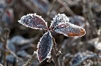 Privet (Ligustrum vulgare), leaves covered with hoar frost, Untergroeningen, Baden-Wuerttemberg, Germany, Europe