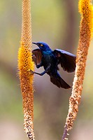 Cape Glossy Starling Lamprotornis nitens, on the Skirt aloe Aloe aloides, Kruger National Park, South Africa