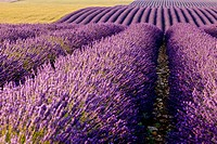 Colorful lavender along the Valensole Plateau, Provence France