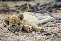 A lone lion cub lying in the dirt, looking at camera