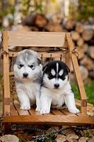 Siberian Husky puppies in traditional wooden dog sled, Alaska