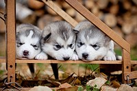 Pure_bred Siberian Husky puppies in small wooden dog sled, Alaska