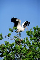 Wood stork (Mycteria americana), adult on tree, spreading wings, Florida, USA