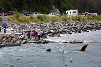 Sea Lions fish for salmon at Allison Point as visitors watch from the shoreline, Valdez, Southcentral Alaska, Summer