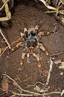 Female orange-knee, or Mexican red-kneed tarantula (Brachypelma smithi), with a baby on the back, Monteverde Natural Reserve, Puntarenas, Costa Rica, ...